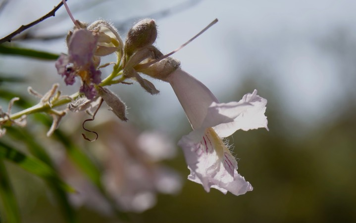 Chilopsis linearis - Desert Willow - Frying Pan Canyon, Cooke's Range