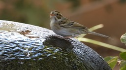 Clay Colored Sparrow - Hillsboro - Sep 2020 1