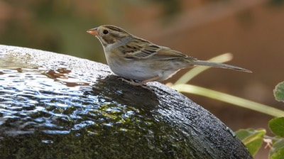 Clay Colored Sparrow - Hillsboro - Sep 2020.  5