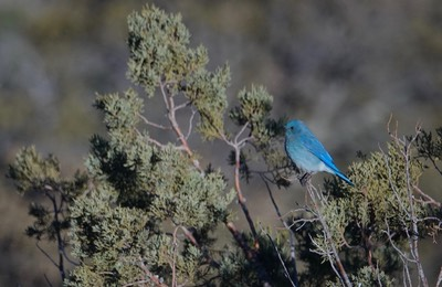 Bluebird, Mountain - Sialia currucoides