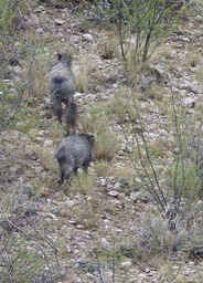 Javelina - Lake Valley Area, south of Hillsboro, west of Hwy 27