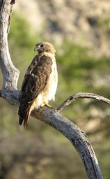 Hawk, Red-tailed