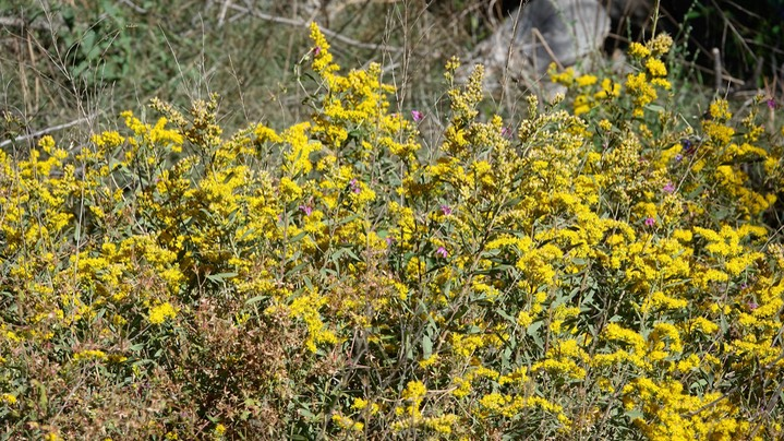 Solidago lepida, Western Goldenrod, Mineral Creek, East side of the Black Range