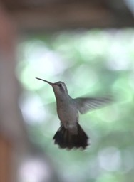Hummingbird, Broad-billed 4