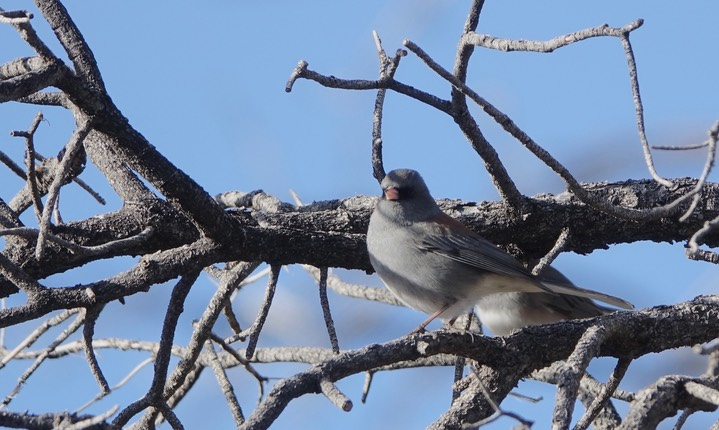 Junco, Dark-eyed (Grey-headed) -Junco hyemalis caniceps - Black Range1