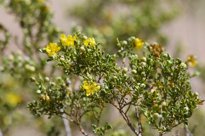 Larrea tridentata - Creosote Bush - East of Hillsboro1