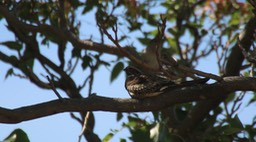 Nighthawk, Common (Hillsboro)