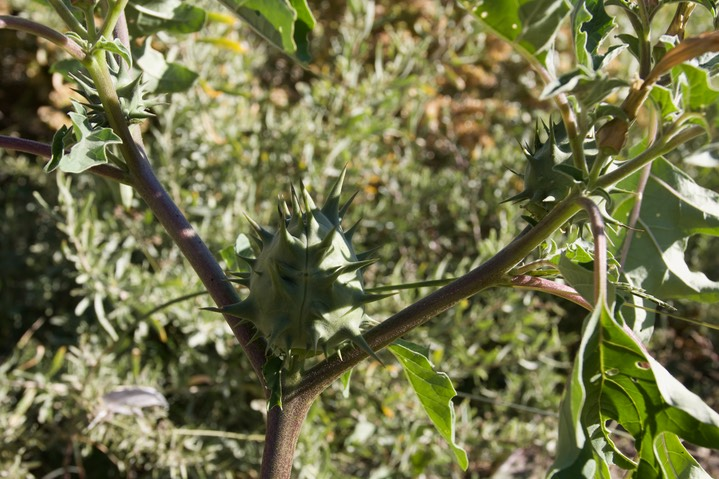 Oak Leaf Thorn Apple, Datura quercifolia  2
