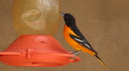 Oriole, Baltimore 1