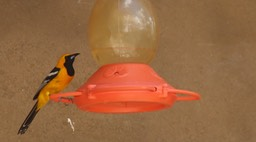 Oriole, Hooded 2