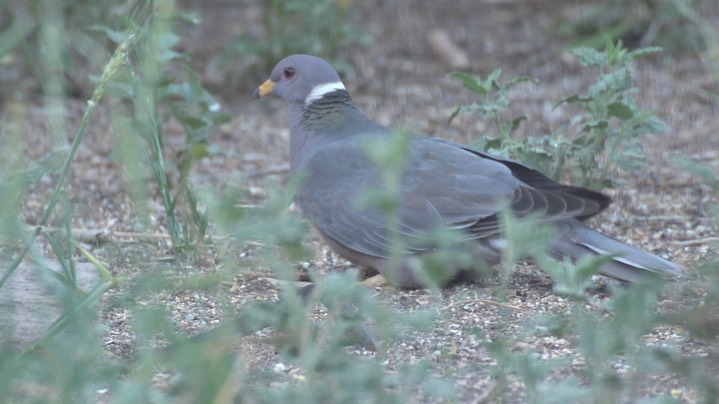 Pigeon, Band-tailed May 1