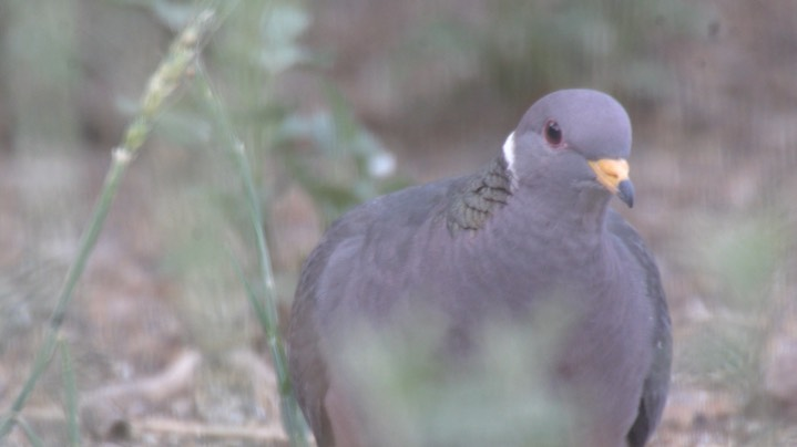 Pigeon, Band-tailed May 2