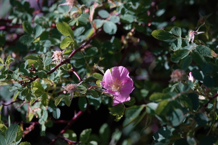 Rosa woodsii Lindley var. woodsii