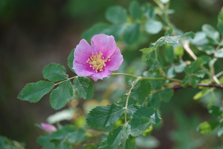Rosa woodsii Lindley var. woodsii 1a