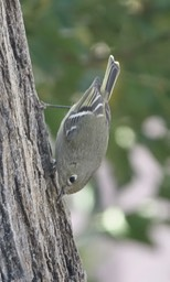 Ruby-crowned Kinglet - Hillsboro2