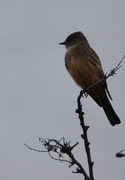 Say's Phoebe, east of Hillsboro