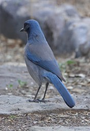 Scrub-Jay, Woodhouse's - Aphelocoma woodhouseii - Hillsboro, New Mexico, USA