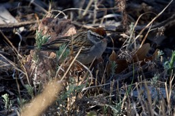 Chipping Sparrow, Hillsboro