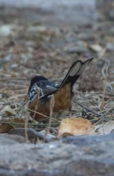 Spotted Towhee Dec9b