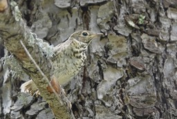 Thrush, Hermit - Catharus guttatus - Railroad Canyon, Black Range - July 23, 2017