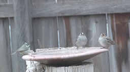 Titmouse, Bridled (Hillsboro, NM Dec 2018) a