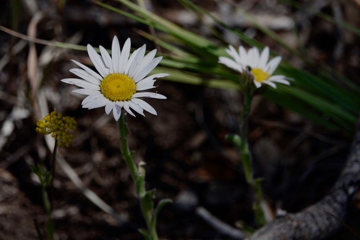 Townsendia formosa, Smooth Townsend Daisy d