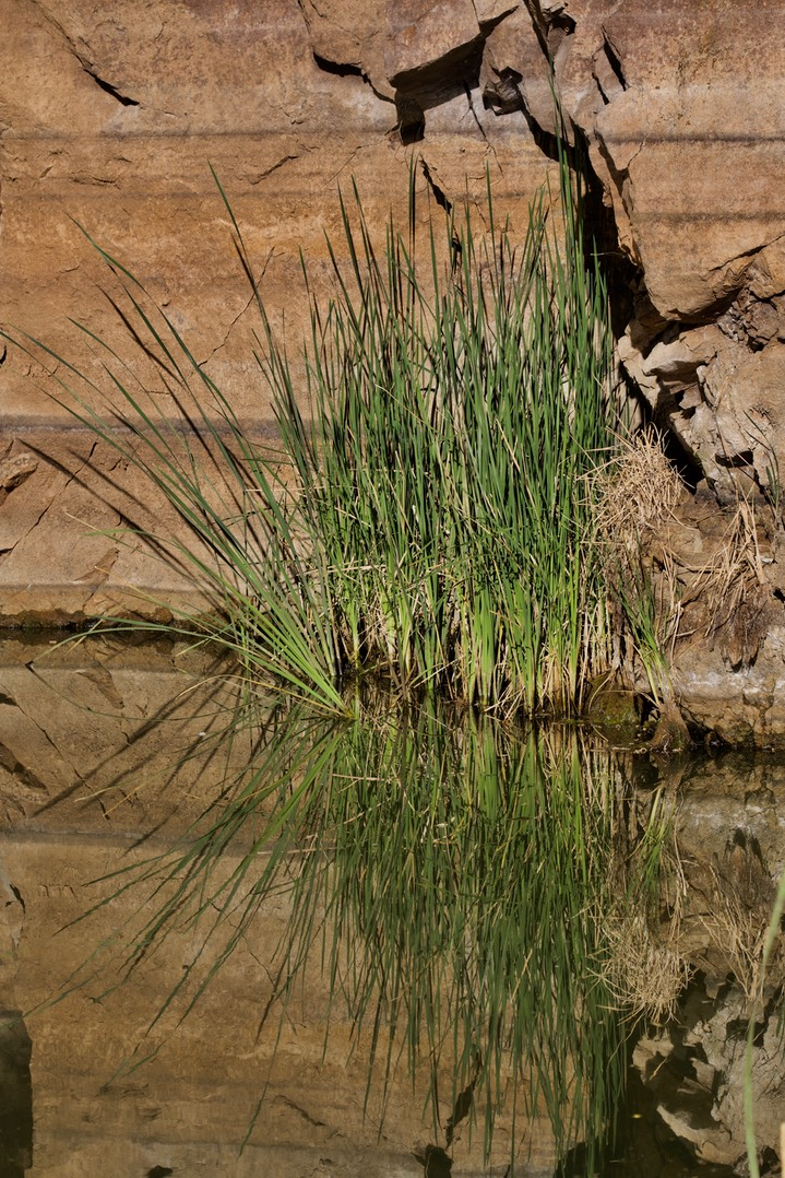 Typha latifolia, Broad-leaved Cattail2