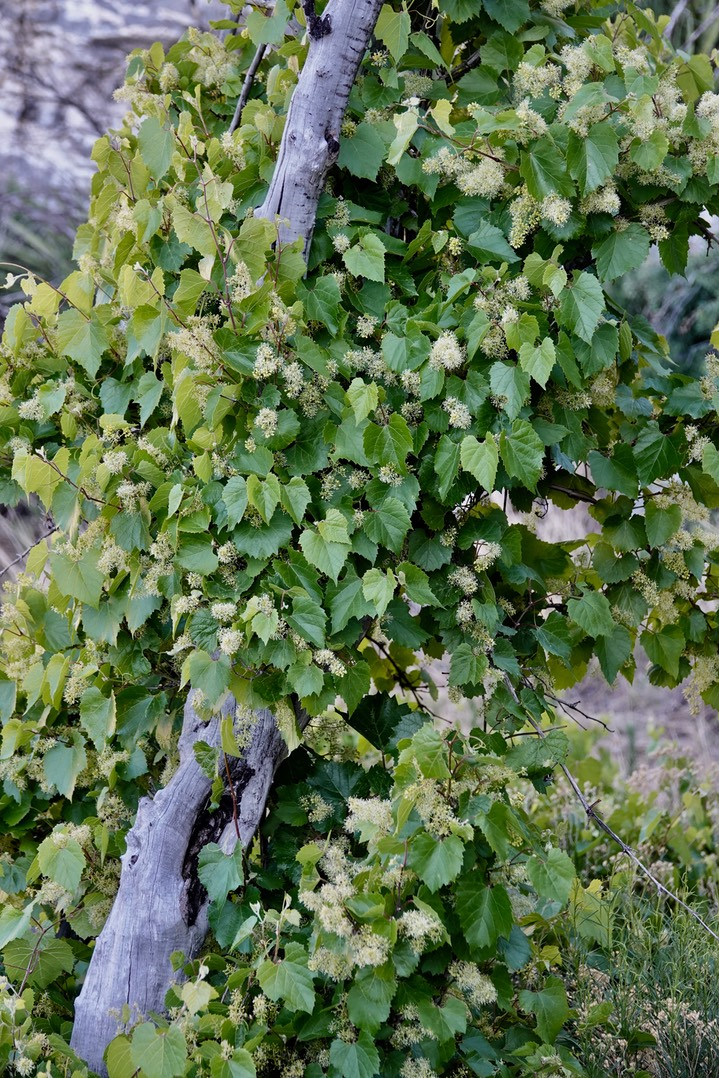 Vitis arizonica Canyon Grape3