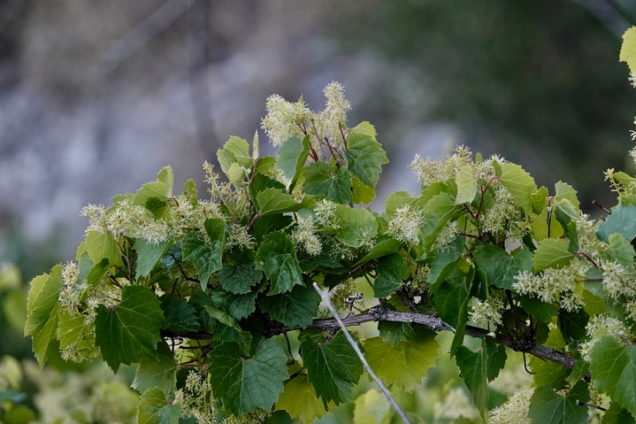 Vitis arizonica Canyon Grape2