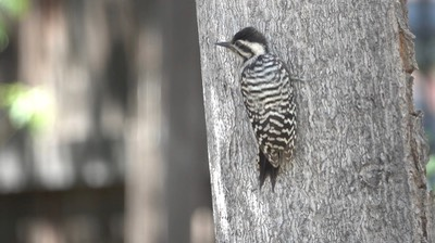 Woodpecker, Ladder-backed (Hillsboro 7-16)3